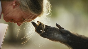 Jou Jou, captive chimpanzee reaches out it's hand to Dr. Jane Goodall.